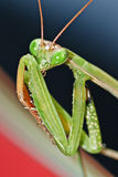 Praying mantis face. Cute green praying mantis secret Stock Photography