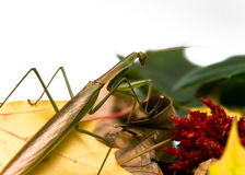 Praying Mantis Fall Foliage Stock Image