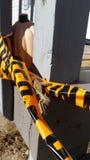 Praying Mantis in Fall  in Illinois royalty free stock image