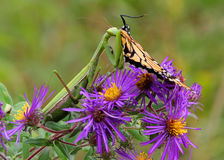 Praying Mantis Feeding. Praying Mantis eating a Monarch Butterfly royalty free stock image