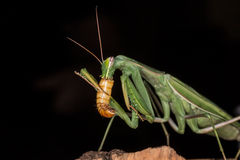 Praying mantis feeding Stock Photos