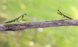Praying mantis - female and male Stock Image