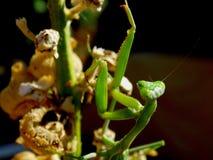 Praying Mantis female Posing Karate Chinese Royalty Free Stock Image