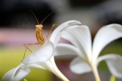 Praying mantis on a flower. Stock Photos