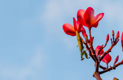 Praying mantis on a flower and blue sky background. Royalty Free Stock Image
