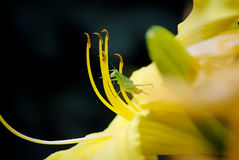Praying Mantis on Flower Royalty Free Stock Photo