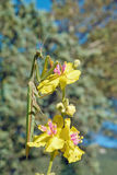 Praying mantis on flower of mullein sinuous Stock Images