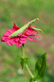 Praying mantis on a flower Stock Photos