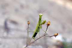 Praying Mantis on the Flower Royalty Free Stock Images