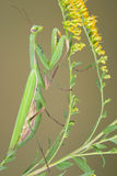 Praying mantis on goldenrod. A praying mantis native to Michigan is climbing on goldenrod Royalty Free Stock Images