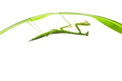Praying Mantis on Grass, Isolated. A praying mantis hanging on a grass stalk, shot against white stock image