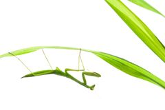 Praying Mantis on Grass, Isolated. A praying mantis hanging on a grass stalk, shot against white royalty free stock images