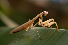Praying Mantis. On green banana leaf Royalty Free Stock Photo