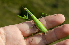 Praying mantis. On a green hand Royalty Free Stock Photography