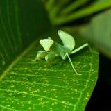 A Praying Mantis on Green Leaf Stock Image
