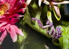 Praying Mantis grub on green leaves and pink flower Royalty Free Stock Image