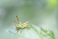 Praying mantis. Mantis has many kinds, this is oneof them Stock Image