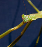 Praying Mantis head Royalty Free Stock Photography