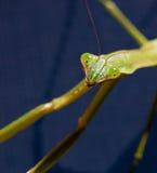 Praying Mantis head Royalty Free Stock Photography