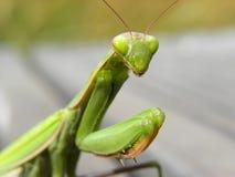 Praying mantis in herault, languedoc, france. Praying mantis in herault, a department of the region Languedoc, france royalty free stock photo