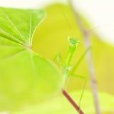 Praying mantis hiding Stock Images