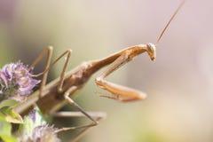 Praying Mantis II. Praying mantis waiting on the flower Stock Photos