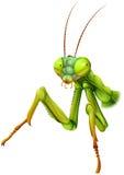 A praying mantis. Illustration of a praying mantis on a white background Stock Image