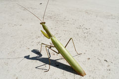 Praying mantis. Insect of 2017 Royalty Free Stock Photography
