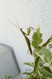 Praying mantis. Insect of 2017 Royalty Free Stock Photos