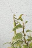 Praying mantis. Insect of 2017 Stock Image