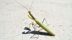 Praying mantis. Insect of 2017 Stock Images