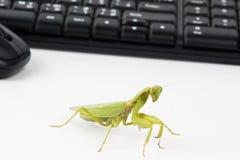 Praying mantis insect dancing Stock Photo