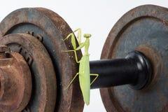 Praying mantis insect dancing Stock Image