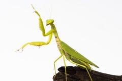 Praying mantis insect dancing Stock Photos