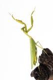 Praying mantis insect dancing  Royalty Free Stock Image