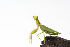 Praying mantis insect dancing Royalty Free Stock Photos
