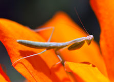 Praying, Mantis, Insect, Flower. Royalty Free Stock Photos