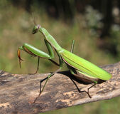 Praying Mantis. Insect in nature  as a symbol of green natural extermination and pest control with a predator that hunts and eats other insects as an icon of Royalty Free Stock Photos