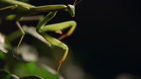 Praying Mantis insect in nature stock video footage