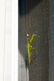 Praying Mantis insect in nature. Mantis religiosa. Royalty Free Stock Photos