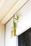 Praying Mantis insect in nature. Mantis religiosa. Royalty Free Stock Images