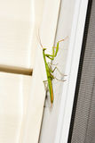 Praying Mantis insect in nature. Mantis religiosa. Stock Images