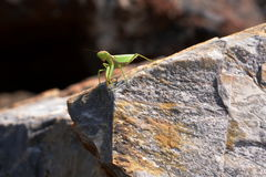 Praying Mantis. On the island of Skopelos, found on a rock in the harbor Stock Photos