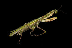 Praying mantis Royalty Free Stock Photo