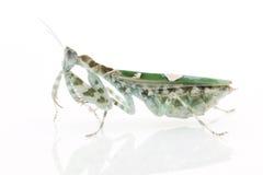 Praying Mantis. Isolated on white background Stock Images