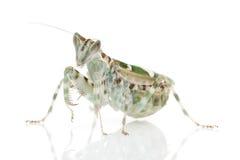 Praying Mantis. Isolated on white background Royalty Free Stock Photos