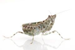 Praying Mantis. Isolated on white background Royalty Free Stock Images