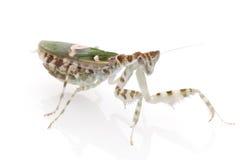 Praying Mantis. Isolated on white background Stock Photo