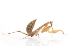 Praying Mantis. Isolated on white background Royalty Free Stock Photo