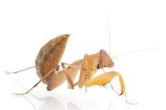 Praying Mantis. Isolated on white background Stock Photos